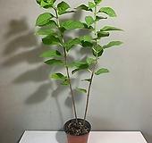 여름수국 / / 라임라이트|Hydrangea macrophylla