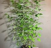 라임라이트 / 여름수국 大|Hydrangea macrophylla