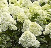 수국(라임라이트)|Hydrangea macrophylla