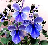 나비수국(외목꽃대소품)|