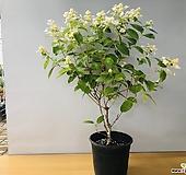 다루마수국 (대품 )|Hydrangea macrophylla