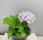 일본 만화경수국|Hydrangea macrophylla
