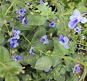 나비수국|Hydrangea macrophylla