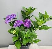 수국 투게더 (동일품배송)|Hydrangea macrophylla