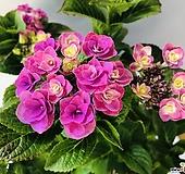 장미수국|Hydrangea macrophylla