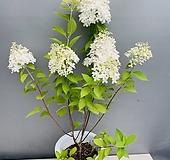 라임라이트수국 (노지월동가능)|Hydrangea macrophylla
