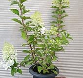 목수국(중품) 노오지월동가능  탐스럽게 피는아이에요|Hydrangea macrophylla