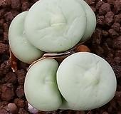 conophytum  pagaea 파가에 5두|