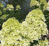 목수국 대품|Hydrangea macrophylla
