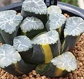 총원 만상 금|Haworthia maughanii variegated