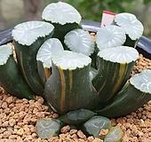 렌즈 만상 금|Haworthia maughanii variegated