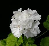 브룩사이드베티+꽃사진첨부(제라늄2개) Geranium/Pelargonium