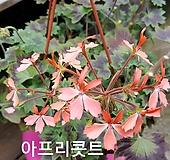 아프리콧트(스텔라제라늄) Geranium/Pelargonium