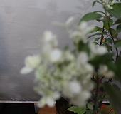 다루마수국|Hydrangea macrophylla