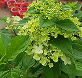 목수국녹화,신상품|Hydrangea macrophylla