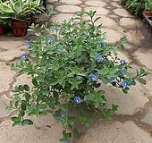 아메리칸블루/공기정화식물/근이네식물원 