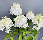 라임라이트수국|Hydrangea macrophylla