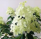 라임라이트수국 (대품 동일품배송 )|Hydrangea macrophylla