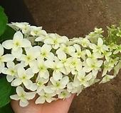 목수국-흰색아이스플라워대품|Hydrangea macrophylla