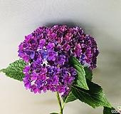 투게더수국(동일품배송 )|Hydrangea macrophylla
