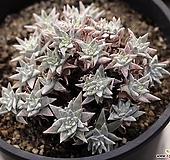 화이트그리니 군생(적심)  1-7769|Dudleya White gnoma(White greenii / White sprite)