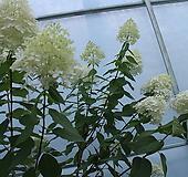 여름목수국|Hydrangea macrophylla