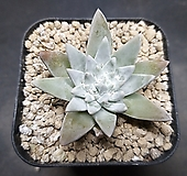 화이트그리니-8601|Dudleya White gnoma(White greenii / White sprite)