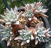 화이트그리니(11두)0716-1|Dudleya White gnoma(White greenii / White sprite)