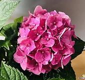 분홍수국 (동일품배송 )|Hydrangea macrophylla