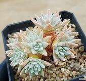 화이트그리니(자연군생) 6-287|Dudleya White gnoma(White greenii / White sprite)