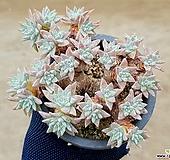 화이트그리니(자연군생) 7-47|Dudleya White gnoma(White greenii / White sprite)