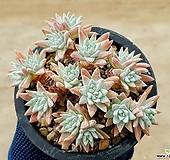 화이트그리니(자연군생) 7-169|Dudleya White gnoma(White greenii / White sprite)