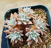 화이트그리니(자연군생) 7-174|Dudleya White gnoma(White greenii / White sprite)