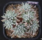 화이트그리니 자연목대 723|Dudleya White gnoma(White greenii / White sprite)