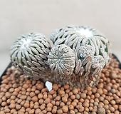 수입들어온사이즈좋은정교환 뿌리무 뿌리잘내리시는분한번도전해보세요특가로드려요|