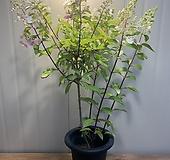 (단품) 여름목수국 특대품|Hydrangea macrophylla