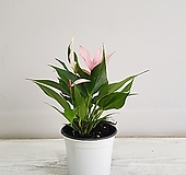 카라안시리움(핑크)/공기정화식물/반려식물/온누리 꽃농원|Anthurium andraeaeanum