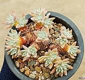 (특가)화이트그리니(자연군생) 8-177|Dudleya White gnoma(White greenii / White sprite)