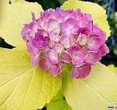 황금수국|Hydrangea macrophylla