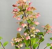 윔스레드수국 (빨강)|Hydrangea macrophylla