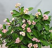 꽃기린 핑크  묵은둥이  중대품  동일품발옹|