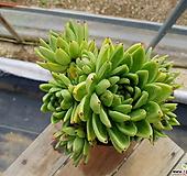 골드왁스 (특대품)(목질)(자연군생) 1073 0717|Echeveria agavoides Wax