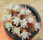 화이트그리니(자연군생) 54-228|Dudleya White gnoma(White greenii / White sprite)