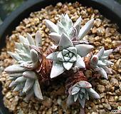 화이트그리니0718-2|Dudleya White gnoma(White greenii / White sprite)