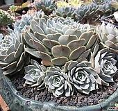 대품 자연군생 플뢰르 블랑크|Echeveria Fleur Blanc