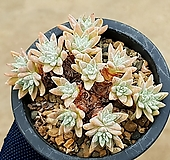 화이트그리니(자연군생) 8-360|Dudleya White gnoma(White greenii / White sprite)