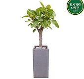 뱅갈고무나무 (시멘크사각완성분) 대품 大 그레이 개업선물 축하화분 인테리어식물|