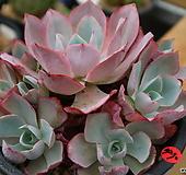 화이트로즈자연군생7290(중.대품)|Echeveria white rose