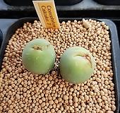 코노피툼 일반종-칼큘러스 씨앗(대형종 10립 CS036)|