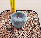 코노피툼 일반종-파가에 씨앗 5립(스티븐스 존시아눔 씨앗 CS037)|